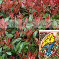 Photinia_super_hedge3-400x400.jpg