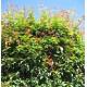 Acmena smithii, Lilly Pilly1-80x80 - Copy.jpg