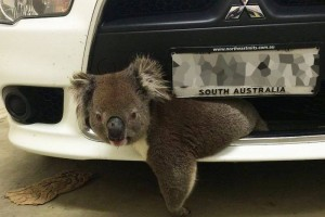 koala-hit-by-car